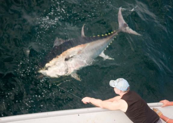 A giant bluefin tuna, caught on rod and reel, is eased toward the boat.