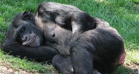 Sometimes sleeping on the ground is cooler and more comfortable for chimpanzees.