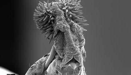 """Why Seed Beetles Are Caught in a """"Sexual Arms Race"""""""