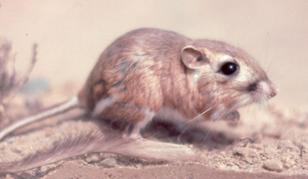 This Kangaroo Rat Was Just Spotted For The First Time In 30 Years Smart News Smithsonian Magazine
