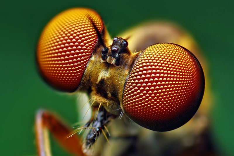 robber_fly_eye.jpg