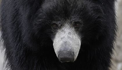 Elderly Sloth Bear Dies at National Zoo