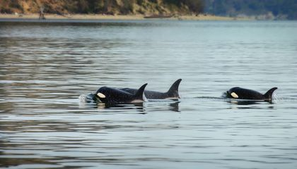 Listen in on Orca Chatter with a New App | Smart News | Smithsonian