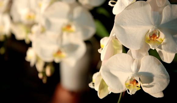 Preview thumbnail for video'Behind the Scenes at the World Orchid Convention