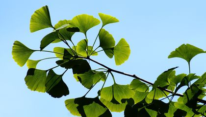 A Genetic Elixir of Life Helps Millennia-Old Ginkgo Trees Escape Death
