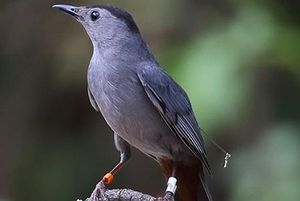 Tracking Catbirds with Conservation Technology