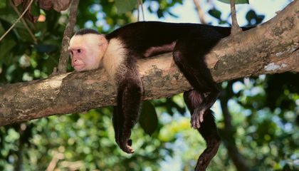 21 Million Years Ago, Monkeys May Have Floated to North America on Rafts