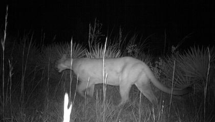 Why Scientists Are Psyched About a River-Crossing Panther
