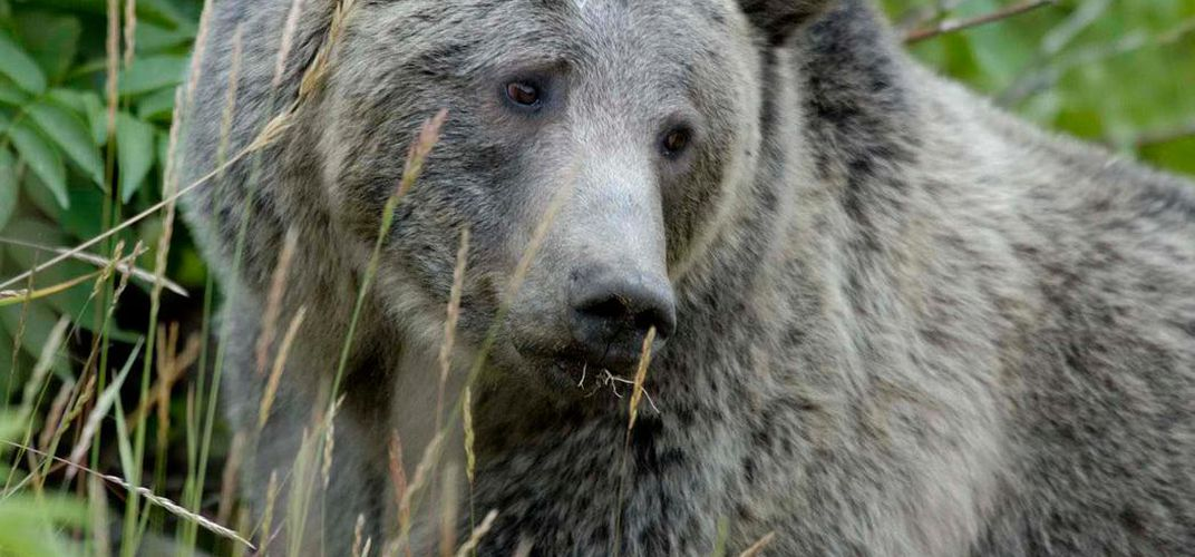Caption: Wyoming Will Allow Yellowstone Grizzly Hunting