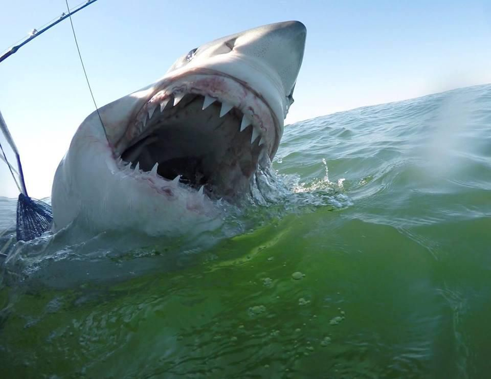 You Can Help Scientists Study Great White Sharks Off the Coast of