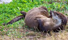 River Otters Take 'Party Pooping' to a New Level