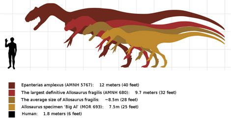 The estimated sizes of several Allosaurus specimens, including