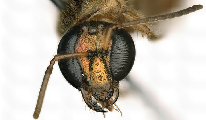 This Bee Has a Body That's Half Male, Half Female