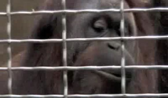Preview thumbnail for video'The Whistling Orangutan