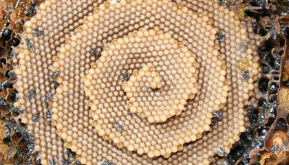 Scientists Crack the Mathematical Mystery of Stingless Bees' Spiral Honeycombs