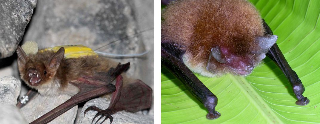 Two bat species side-by-side for comparison.