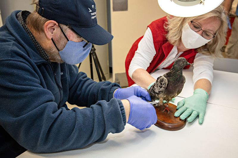 Two researchers retrieve genetic sample from pigeon