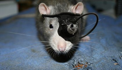 Neuroscientists Wire Two Rats' Brains Together And Watch Them Trade Thoughts