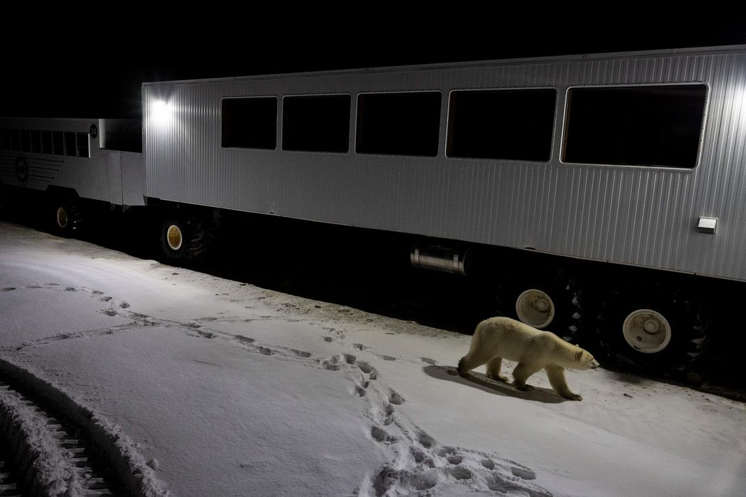 polar bear at night