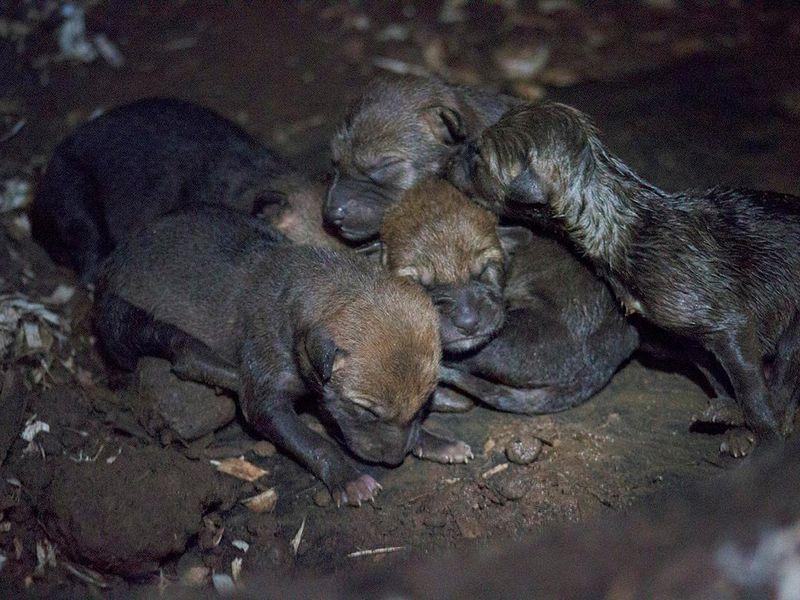 Wolf Pups 1