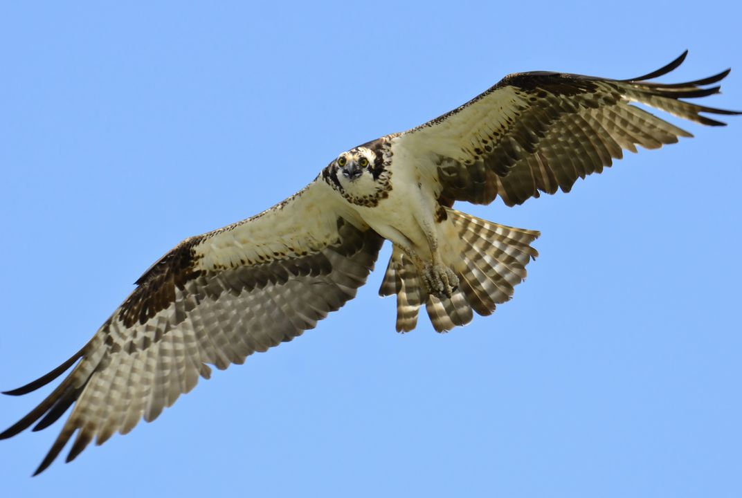 14 Fun Facts About Sea Hawks Science Smithsonian Magazine