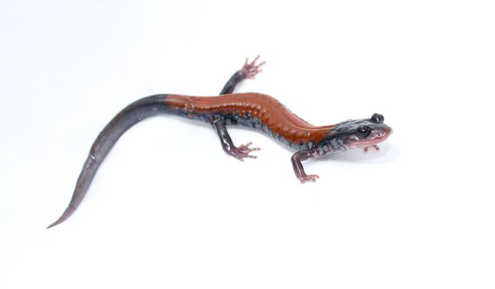 The Yonahlossee salamander is a woodland species from the southern Appalachian Mountains in the United States (Brian Gratwicke)