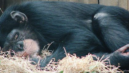 Snoozing Chimps Offer Glimpse of Hominid Sleeping Habits