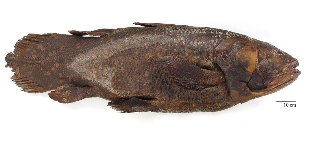 Caption: How the Smithsonian's Coelacanth Lost Its Brain