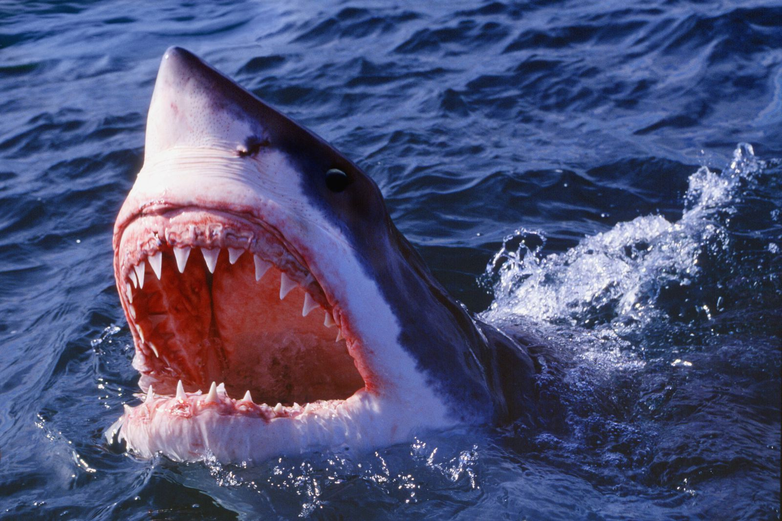 The State of Sharks, 40 Years After Jaws   Science   Smithsonian Magazine