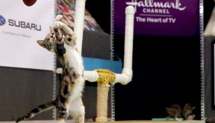 Image: Cats to compete in Kitten Bowl