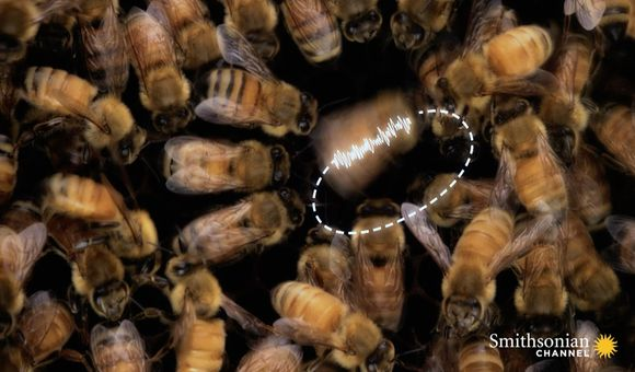 Preview thumbnail for video'What's the Waggle Dance? And Why Do Honeybees Do It?