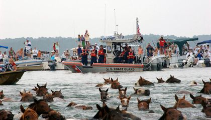 Watch the Chincoteague Ponies Complete Their 91st Annual Swim