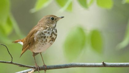 This Bird's Songs Share Mathematical Hallmarks With Human Music