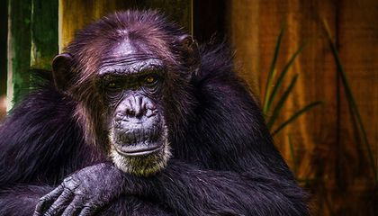 Why Are Chimpanzees Stronger Than Humans?