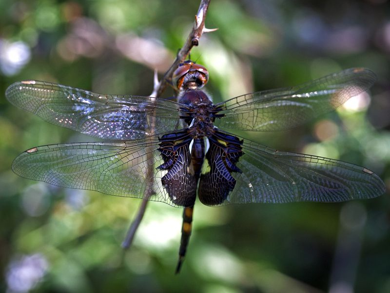 pics-black-winged-dragonfly-young-amateur-porn