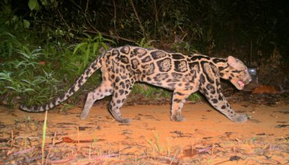 Rare Sunda Clouded Leopards Come in Two Varieties