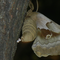 Polyphemus moth laying egg, apparently unfertilized: noted by the indentation on eggs), on bark of tree.