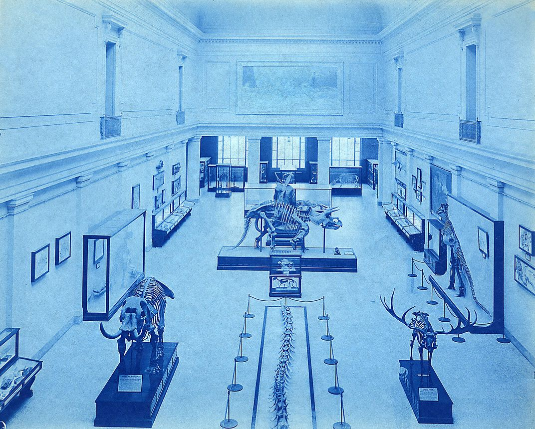 Isolated dinosaur skeletons on display in the Smithsonian's fossil hall when it opened in 1911.