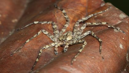 Gliding Spiders Found Falling From Tropical Trees