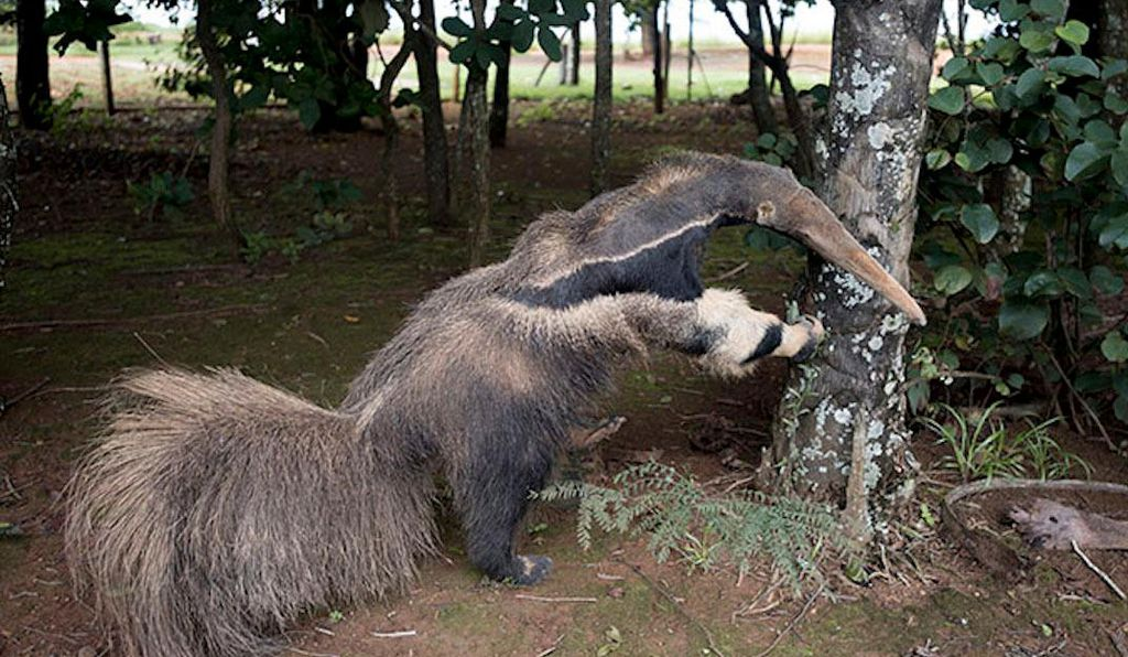 A photo that was submitted to the museum staff as evidence shows a stuff anteater at a visitors center at the national park.