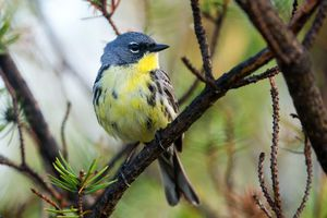 Keeping Track of Kirtland's Warbler All Year Long - A Scientific First