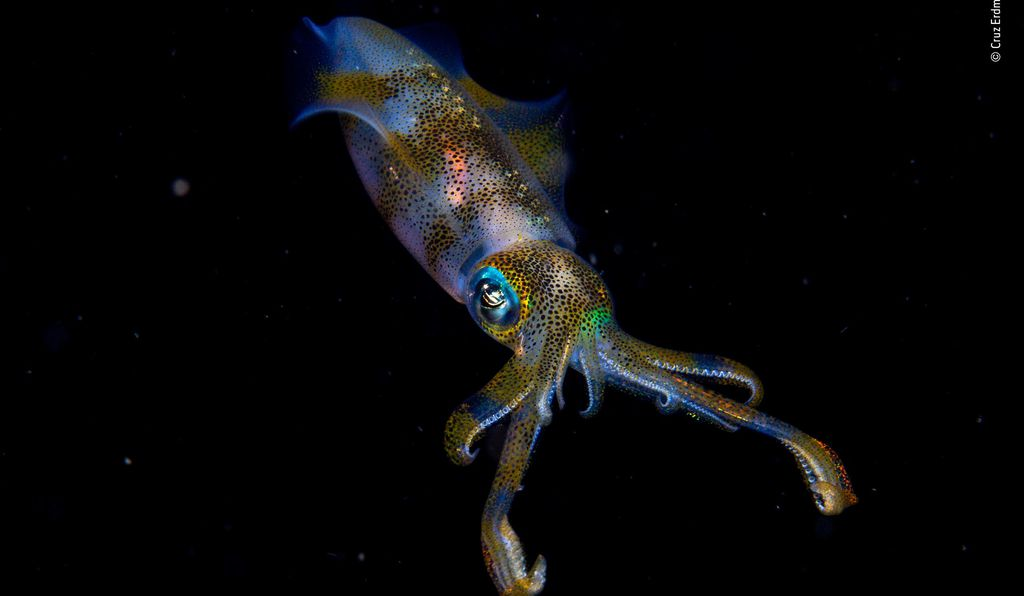 New Zealand's Cruz Erdmann is just 14 years old. He was on an organized night dive in the Lembeh Strait off North Sulawesi, Indonesia, when he captured this fantastic photo of a bigfin reef squid. He had initially spotted two squids mating, but one took off before he snapped his lens. This one hung back, becoming the star of the show.