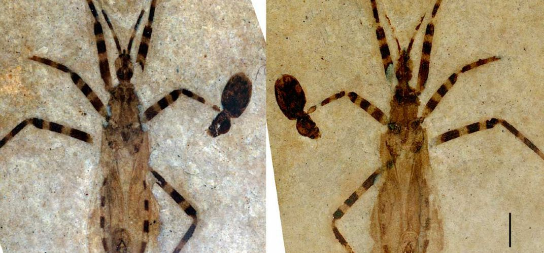 Caption: Ancient Insect Genitals Found in Fossil