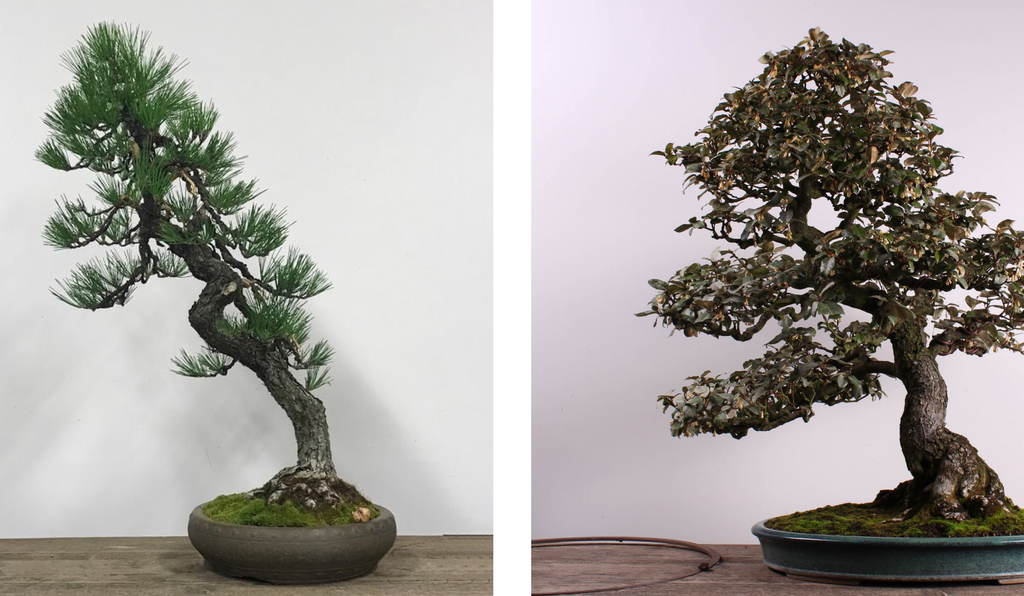 A Japanese Black Pine (left) and a Silverberry bonsai (right) were stolen from a public display at the Pacific Bonsai Museum. They were returned three days later.