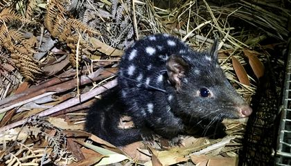 Endangered Eastern Quolls Are Born on Mainland Australia for the First Time in 50 Years