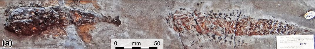 Fossil of squid-relative attacking a fish