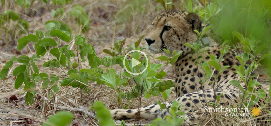 Caption: A Cheetah Changes His Hunting Strategy in a Surprising Way