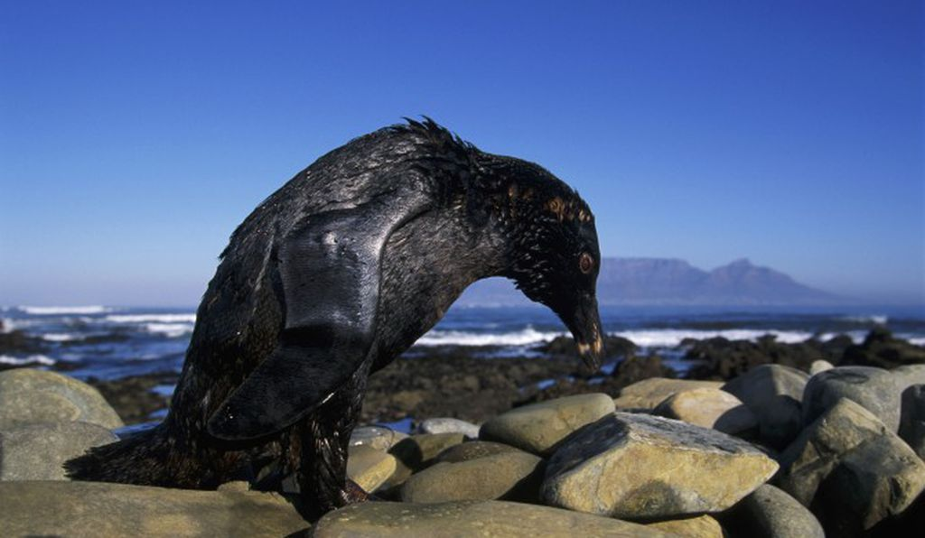 An oil spill in Cape Town's Table Bay threatened 40 percent of an endangered species, the African penguin population that inhabits Robben and Dassen Islands.