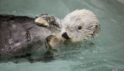 Kenai the Sea Otter, Rescued From Exxon Valdez Oil Spill, Has Died