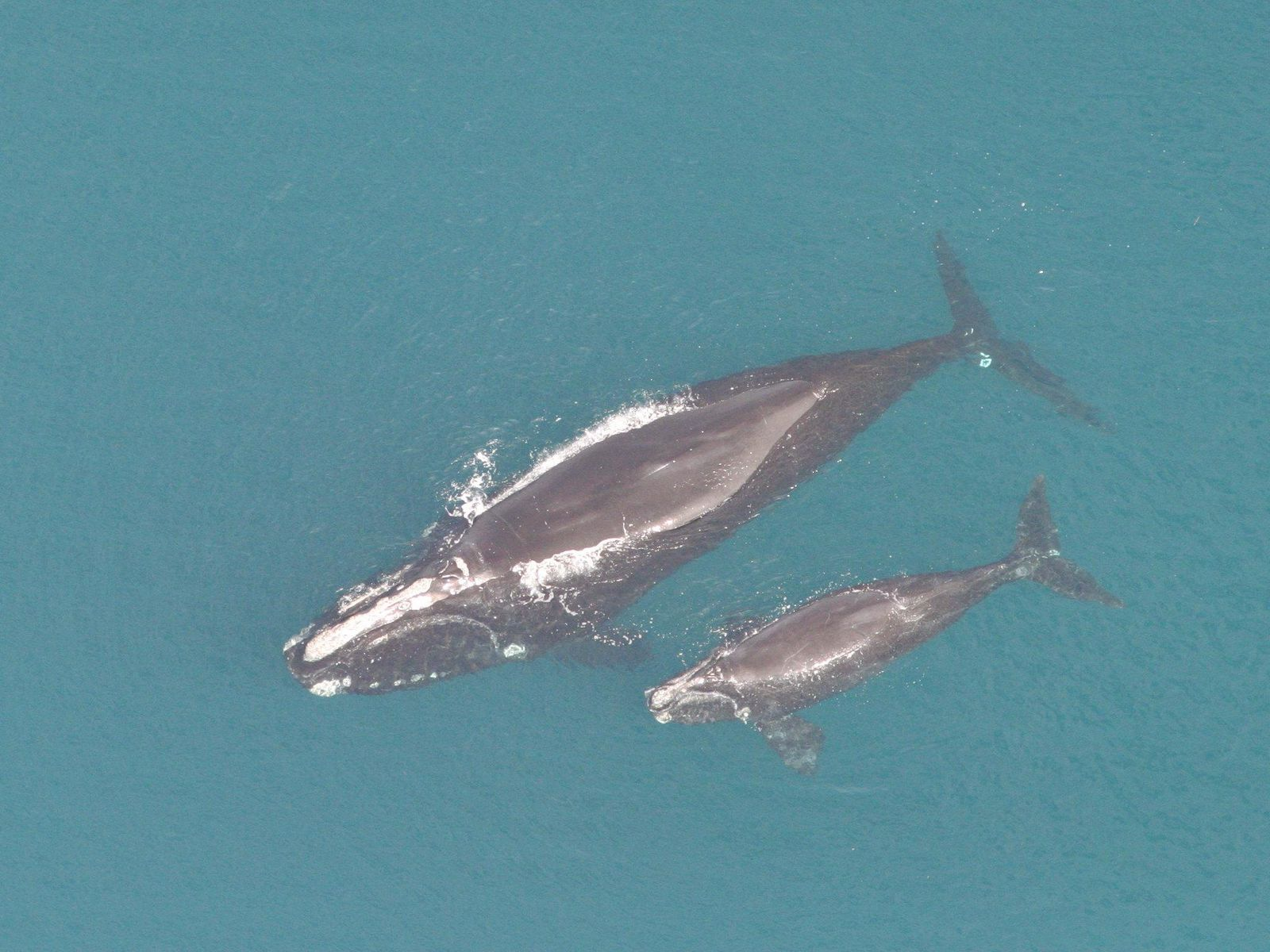 Biologists Celebrate the Births of Two Critically Endangered North Atlantic Right Whale Calves